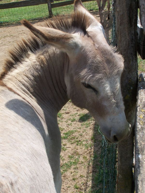 A donkey from Terre de Rose at the edge of the enclosure