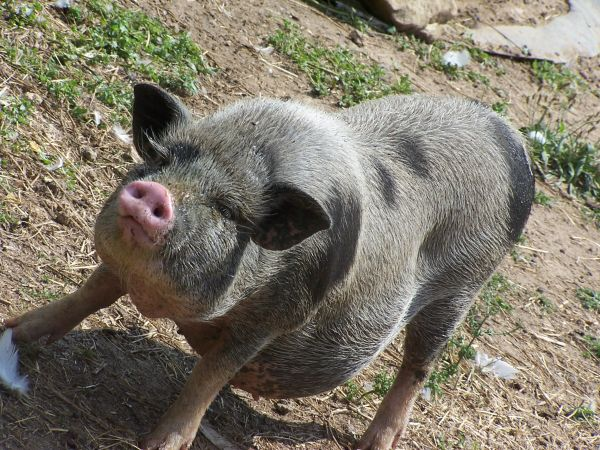 One of the pigs of Terre de Rose
