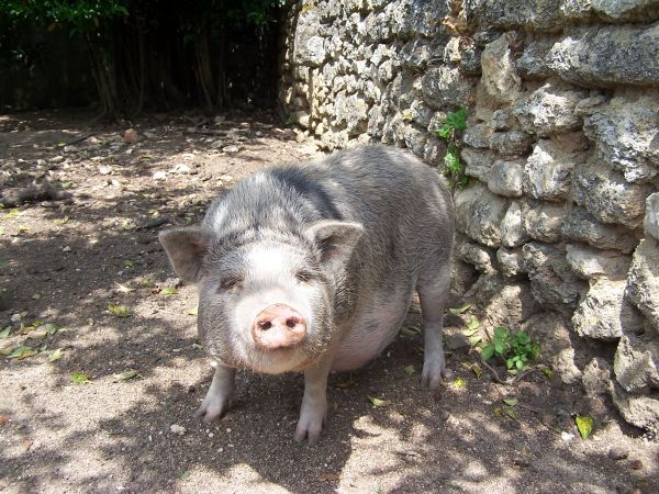 A pig of Terre de Rose